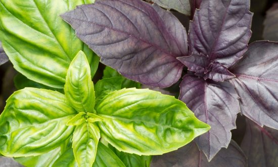 Полезные свойства базилика для здоровья